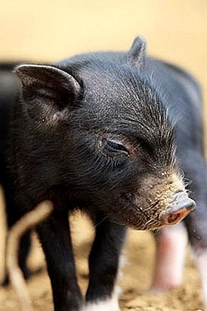 爱吃蕨麻的合作猪