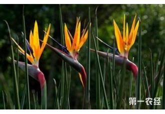 鹤望兰什么时候开花?鹤望兰花期多长?