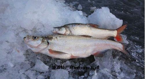 探秘大白鱼