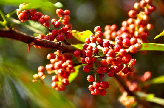 大红袍麻香市场