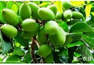 橄榄树怎样种植?橄榄树的种植技术