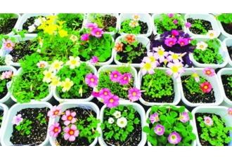 酢浆草品种有哪些,酢浆草花朵几种颜色?