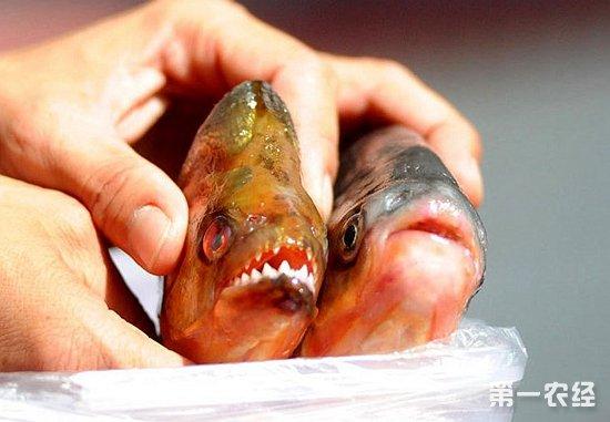 柳州食人鱼事件内幕
