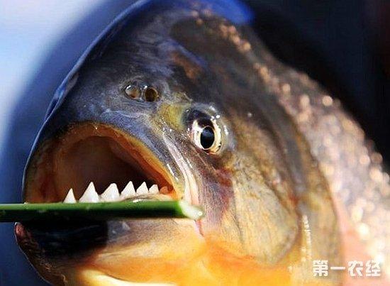 与常识不同,食人鱼并非只有单一的品种,事实上,食人鱼是两个大属系(Serrasalmus属和Pygocentrus属,下文简称S属和P属)多达数十种鱼类的总称(也有学者认为应划分为四个属系:锯啮脂鲤属,Pristobrycon;臀点脂鲤属,Pygocentrus;尻锯脂鲤属,Pygopristis;锯脂鲤属,Serrasalmus),这些鱼类还会因为流域不同分为不同的亚种。新闻中出现的黑色食人鱼则属于S属,S属类食人鱼不同于P属的特点之一就是领地性强,对同类十分抗拒,这一点在S属的代表品种黑色食人鱼身