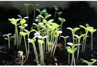 大棚芹菜怎么种?大棚芹菜种植技术【视频】【
