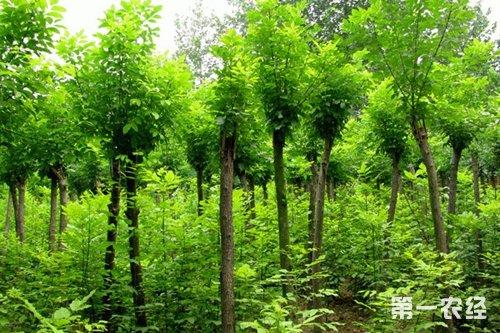 国槐,龙爪槐的常见病虫害有哪些