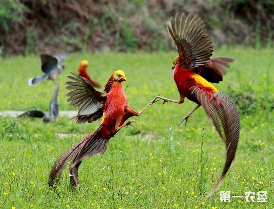 名贵观赏鸡--金鸡(图片)