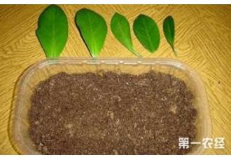 金钱树的繁殖方法有哪些?