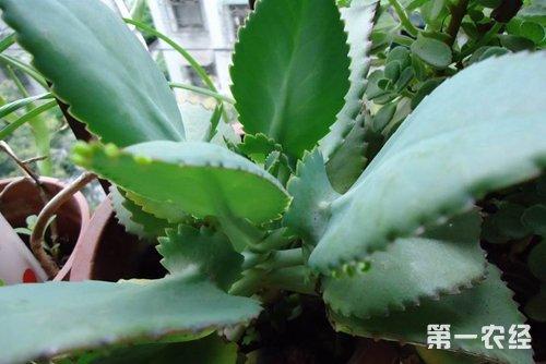厚脸皮植物资料介绍