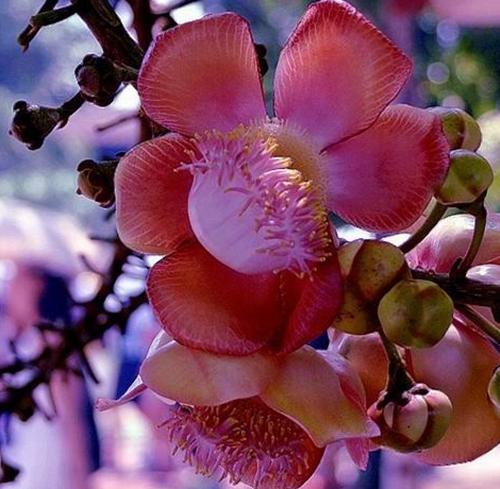 菩提树长什么样?菩提树及其花果欣赏