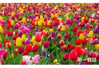 郁金香什么时候开花?