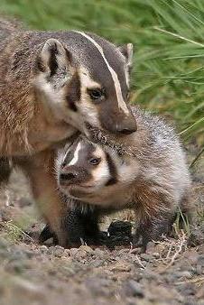 变害为宝的獾