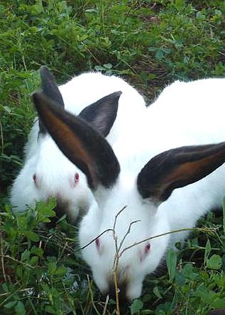 一举两得养獭兔