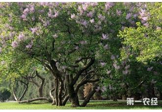 紫丁香植物资料介绍【图文】