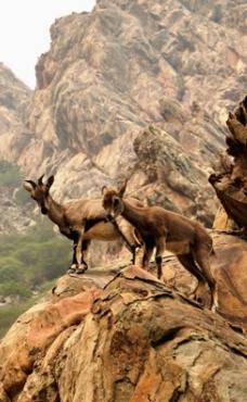 爬悬崖走峭壁的石羊