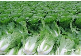 大白菜产地主要分布在哪?