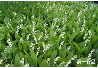 铃兰种植有哪些栽培技术要点?