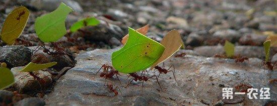 蚂蚁绝对是建筑专家,蚁穴内有许多分室,这些分室各有用处。其中蚁后的分室最大。在沙漠中有一种蚂蚁,建的窝远看就如一座城堡,有4.5米之高。那些窝废弃之后,就会被一些动物拿来当自己的窝了。蚁穴的底部是给蚁后住的,蚁后的任务就是吃东西,交配,生孩子。蚁窝牢固、安全、舒服,道路四通八达。蚂蚁窝外面还有一圈土,还有一些储备食物的地方,里面通风、凉快、冬暖夏凉,食物不易坏掉。   蚂蚁的巢穴从上面看,只能见到一个小孔,其实它们地下的房子十分庞大而复杂,蚁穴中有很多房间,还有无数互相连接的隧道.