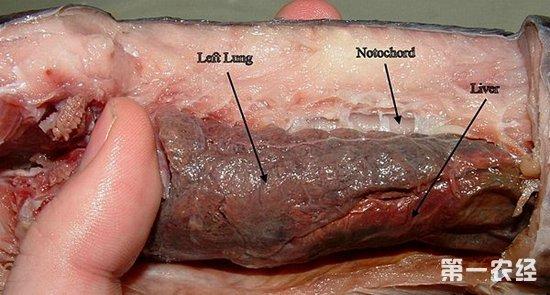 非洲肺鱼的资料 非洲肺鱼夏眠