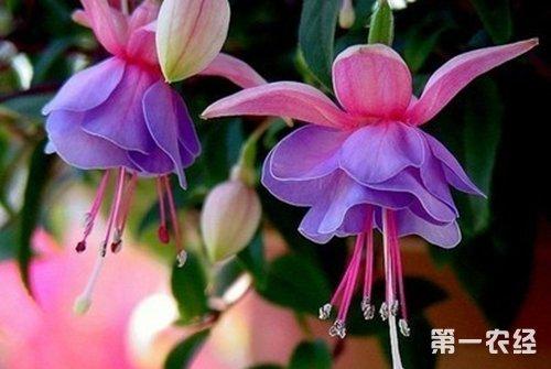 菊花茶有哪些品种_秋天开花的植物有哪些? - 种植技术 - 第一农经网