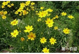 金鸡菊怎么种?金鸡菊的种植方法