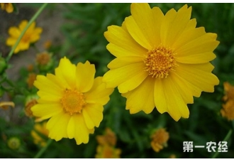 金鸡菊什么时候开花?金鸡菊一年开几次花?