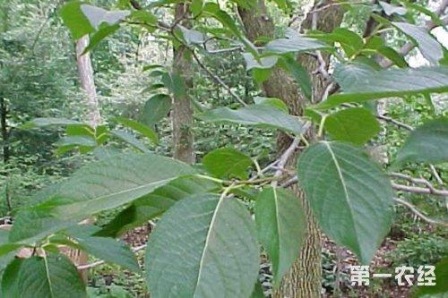 豹纹木蠹蛾      幼虫蛀食树干