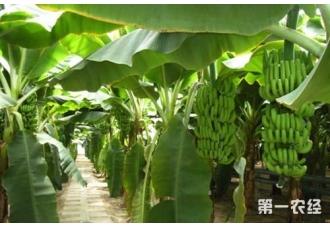中国香蕉产地主要分布在哪里?