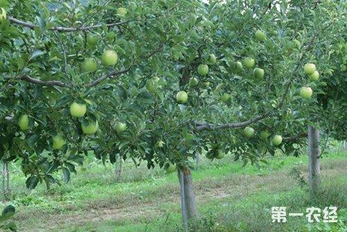青苹果的养殖方法,果树种植管理技术 - 种植技术 ...