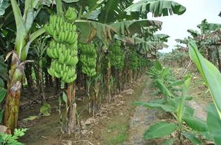 【香蕉专题】香蕉种殖方法|病虫害