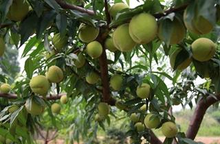 【桃树专题】桃树种植技术|病虫害防治