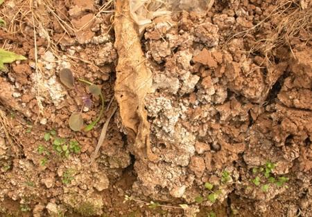 土壤改良技术_酸性土壤改良方法【图文】 - 种植技术 - 第一农经网