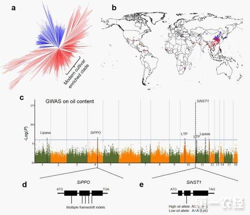 中国率先完成芝麻全基因组关联分析