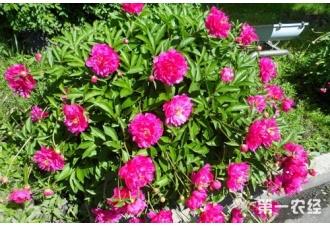 芍药花什么时候开?芍药花的花语是什么?