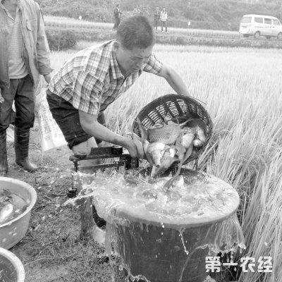 """云南龙陵:""""鱼稻共生""""增效又增收"""