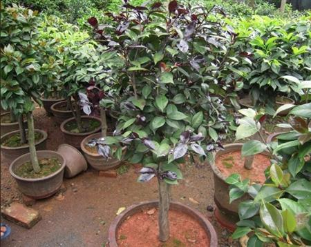嫁接技术:油茶树怎么嫁接茶花?