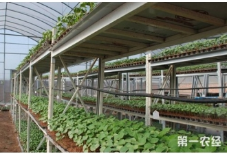 棉花工厂化育苗技术,棉花机械化移栽技术
