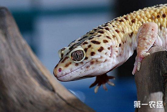 """【专家解答】豹纹守宫,学名:""""Eublepharis macularius"""" macularius意思是""""有斑点的"""",拉丁名为""""Eubiepharinae""""翻译为""""真的眼睑"""",属于蜥蜴亚目动物,有可移动的眼皮,所以大部分爬虫饲主称它为""""eyelid geckos""""有眼睑的守宫,没有脚趾垫。栖息于平地至山地间,凡多岩荒地或草原区等均考见其踪迹。地栖型,以一只雄性守宫为中心,采多妻制的生"""