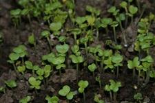 菠菜苗如何培育?菠菜种子处理及菠菜苗培育方