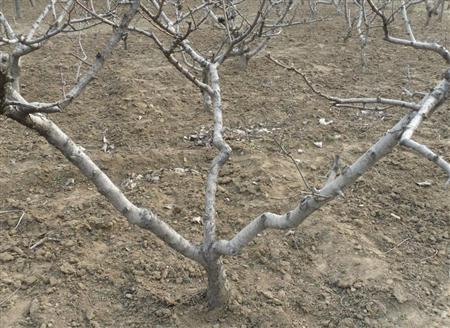 樱桃树修剪方法有哪些图片