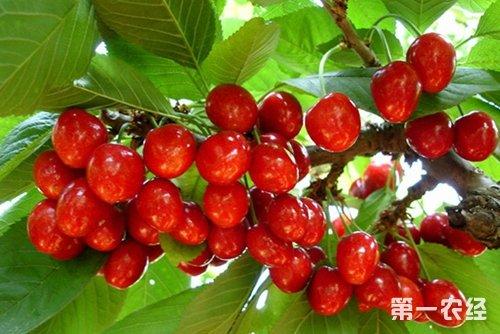 大樱桃树在不同时期的病虫害防治方法图片