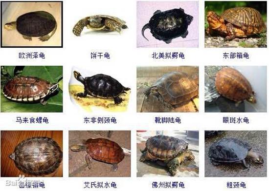 乌龟的种类图片 全球235种乌龟种类(上)