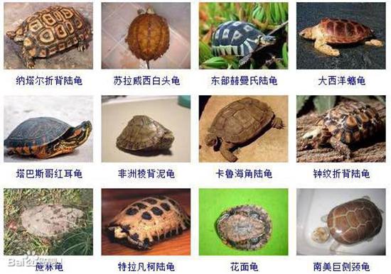 【专家解答】今年来国内龟市把国龟都炒了个遍,从金钱龟到黑颈,从安缘到台缘,从小青到眼斑。明年正式开始炒杂交龟类,杂交龟类的火爆程度已经可以从2015年第2第3季度的花草杂的价格看出来,之后所有和花龟、草龟杂交的龟类的价格都被带动起来了。特别是与花龟杂交的杂交龟类,这也是由于花龟头纹的特殊性。也正是这个原因花龟的价格也有点略微上提(又称为绿线草龟)。好回归正题,我们还是来看看全球还有那些龟可以有被炒潜力的,首先我们先来了解下乌龟之最:
