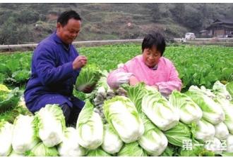 大白菜怎么种?大白菜的种植方法