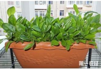 冬天阳台上可以种植菠菜吗?