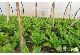 莴苣怎么进行覆盖栽培?