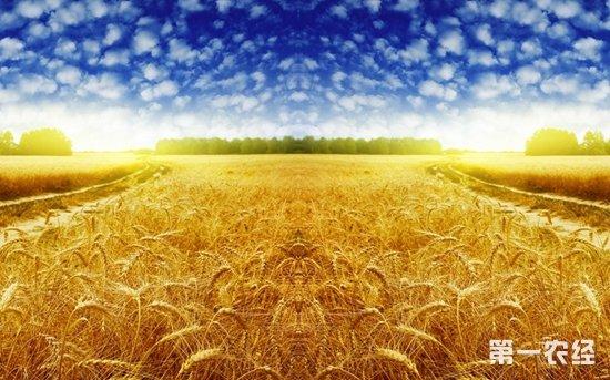 粮食托市收购应方便农民售粮  2015年小麦最低收购价1.18元斤