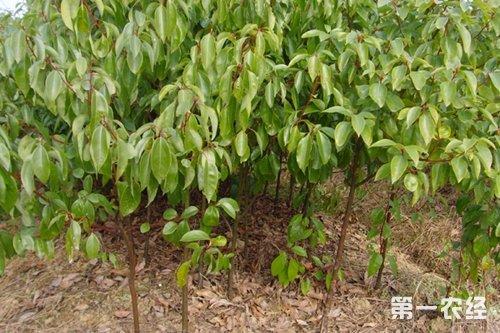 香樟树常见病虫害及其防治方法