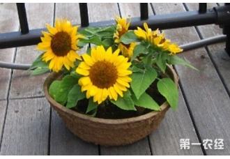向日葵怎么盆栽养殖?
