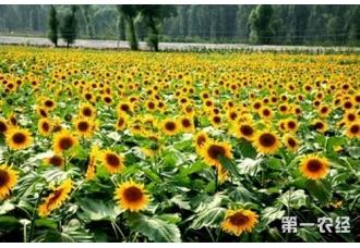 油用向日葵栽培技术